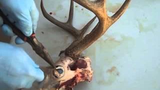 Dermestid Beetle--How to Prepare a Deer Skull