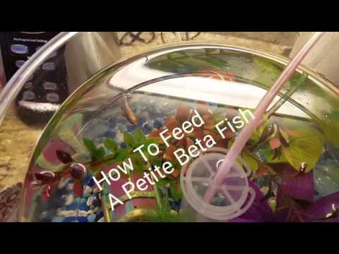 How to feed a betta fish - feeding our petite betta fish