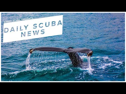 Daily Scuba News - Iceland To Resume Whaling