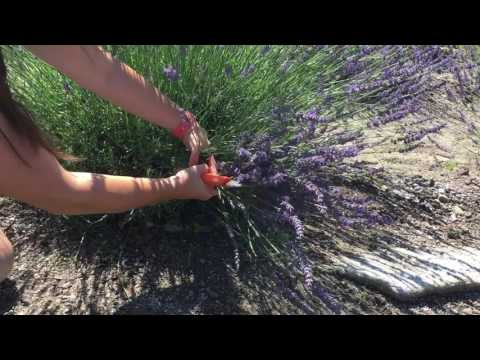 Harvesting Lavender at Lavender Pond Farm
