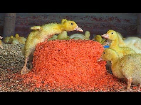 Raising & Feeding Free Range Ducks