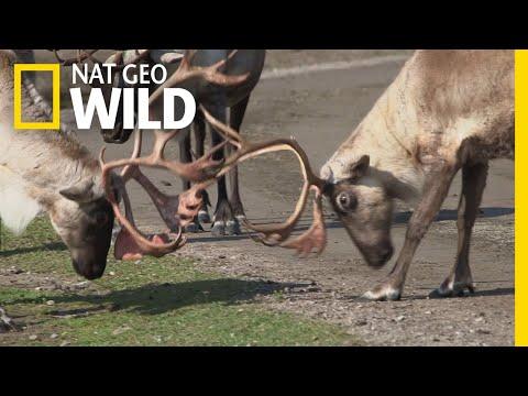 Caribou Spar to Assert Dominance | Alaska's Grizzly Gauntlet