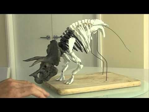 Triceratops Dinosaur Skeleton-video 1