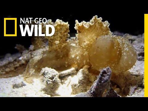 Nudibranch Snacks Along The Ocean Floor | Nat Geo Wild