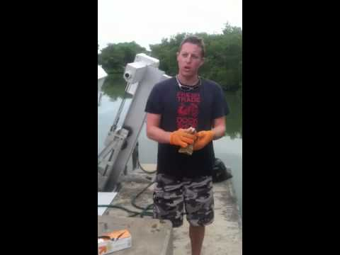 Cleaning a Florida Spiny Lobster