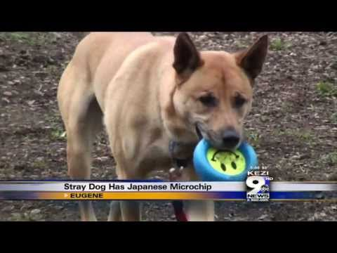 Stray Dog Has Japanese Microchip