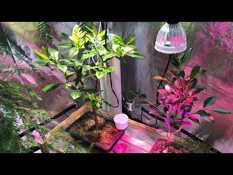 My Bonsai Trees - Lemon, Ficus, Coastal Redwood, Christmas Cactus