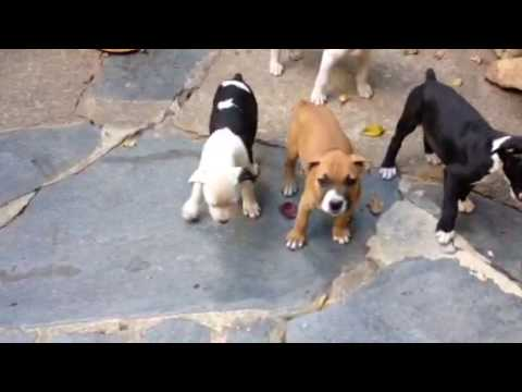 Boxer pit puppies 4 female 1 male puppy Bullboxer breed