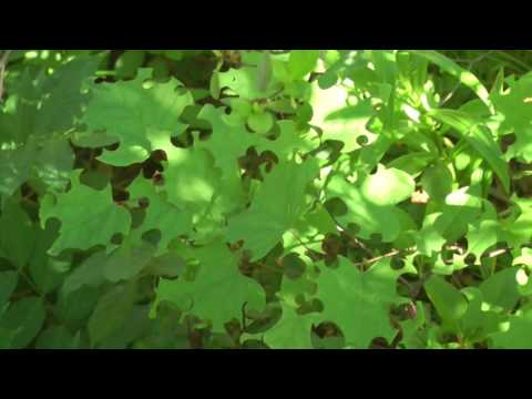 redbud herbivory by leaf-cutter bees