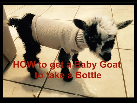 How to teach a Baby Goat to take a Bottle