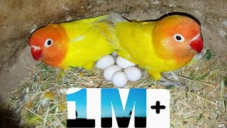 Lovebirds kharidne ka Tariqa # Lutino Personata - Love To