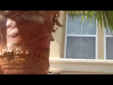 Peeling or skinning  Mexican palm trees