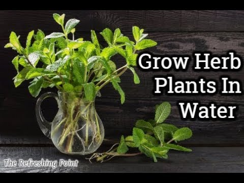 How to Grow Herb Plants in Water All Year Long - Save Money and Have an Endless Supply