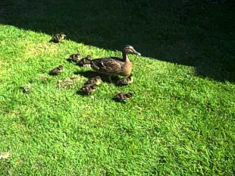 5 little ducks went walking one day