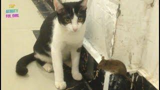 ឆ្មា និង កណ្តុរ - Cat and Mouse/ The cat catches rats