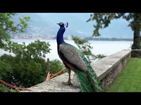Amazing Peacock open feathers