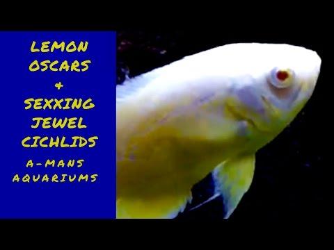 New lemon Oscars and sexing jewel cichlids