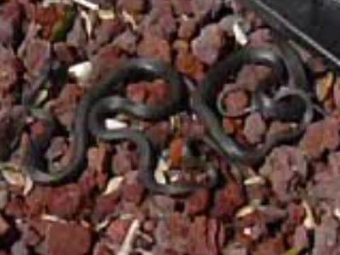 Black snakes won't go away