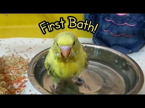 Baby Budgie Sparkles Takes her First ever Bath! | 5 weeks old
