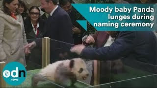 Moody baby Panda lunges during naming ceremony