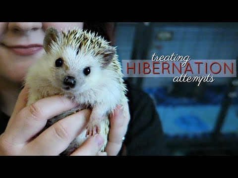 Hedgehog Care: Hibernation & How to Treat It
