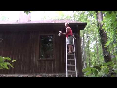 All Wildlife Control hand catching two baby raccoons on a ladder