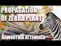 PROPAGATION OF HAWORTHIA ATTENUATA / ZEBRA PLANT