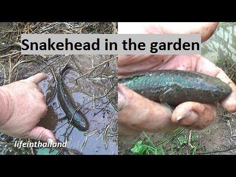 Found a snakehead in the garden.