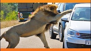 Lion Shows Tourist Why Windows Should be Closed!