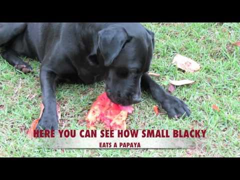 RAW FOOD & ANIMALS - Big DOG loves to eat PAPAYAS