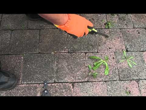 Easy weeding pavers for shallow rooted weeds.