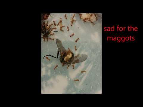 Ants kill maggots as they are born...