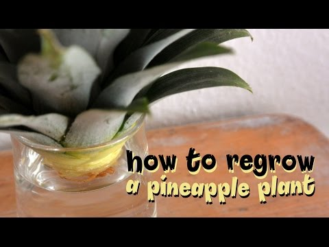 How to regrow a pineapple with? Tutorial to grow a pineapple from scratch.