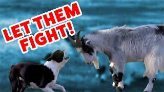 CATS VS. GOATS & MORE Epic Animal Fight Videos of 2016 Weekly Compilation | Funny Pet VIdeos