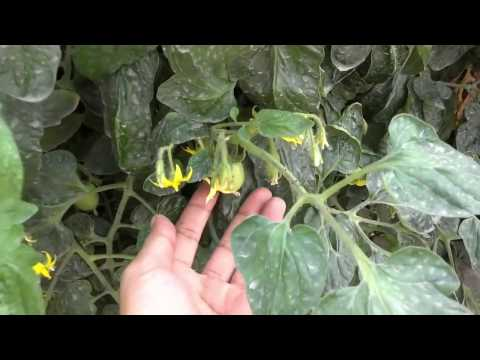 Aphids On Tomato Leaves | How To Get Rid Of Bugs | Aphids Treatment (Urdu/Hindi)