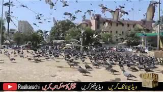 kabootar+for+sale+in+karachi Videos - 9tube tv