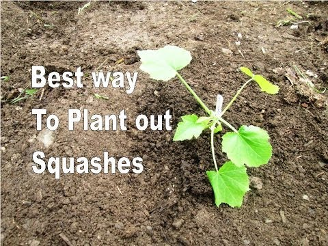 The Best way to Plant out Squashes - Provide water, warmth and no weeds!