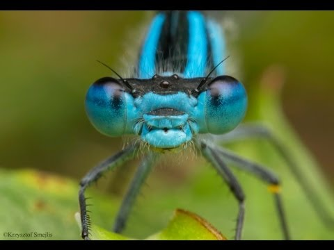 Canon 60mm f/2.8 macro + Extension Tubes (65mm) - Damselfly