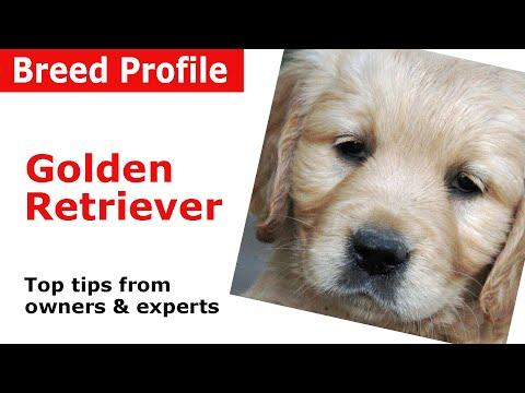 Golden Retriever Dog Breed Guide