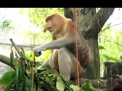 Xxx Mp4 Proboscis Monkey Zoo Sex Simbol Носач секс символ Сингапурского зоопарка 3gp Sex