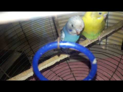 Keeping baby budgies and detect  gender if it is male or female