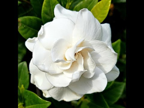 How to make a beautiful and amazing Gardenia flower for Valentine's day with crepe paper!
