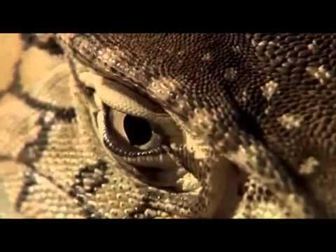 Monitor Lizard Documentary Part 1