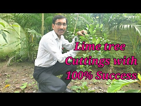 How to make Lime / Lemon tree Cuttings with 100 % Success.