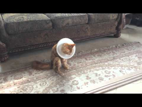 Jack the Cat demos the Paper Plate E-Collar