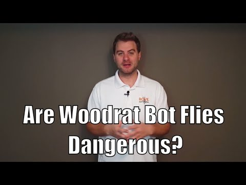Are Woodrat Bot Flies Dangerous?