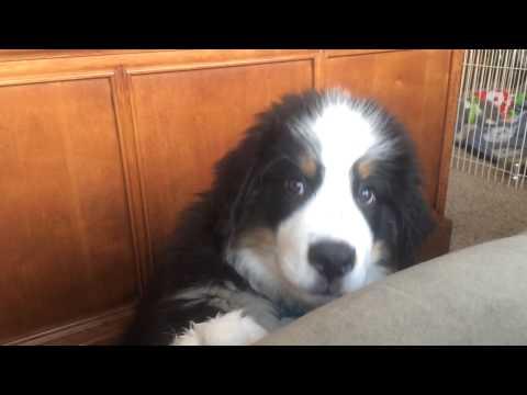 12 week old Bernese mountain dog puppy begging