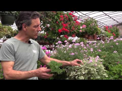 Growing Scented Geraniums In Containers