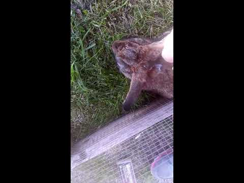 Treating ear mites on/in rabbits