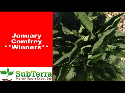 Comfrey Root Cutting Drawing ** Winners **